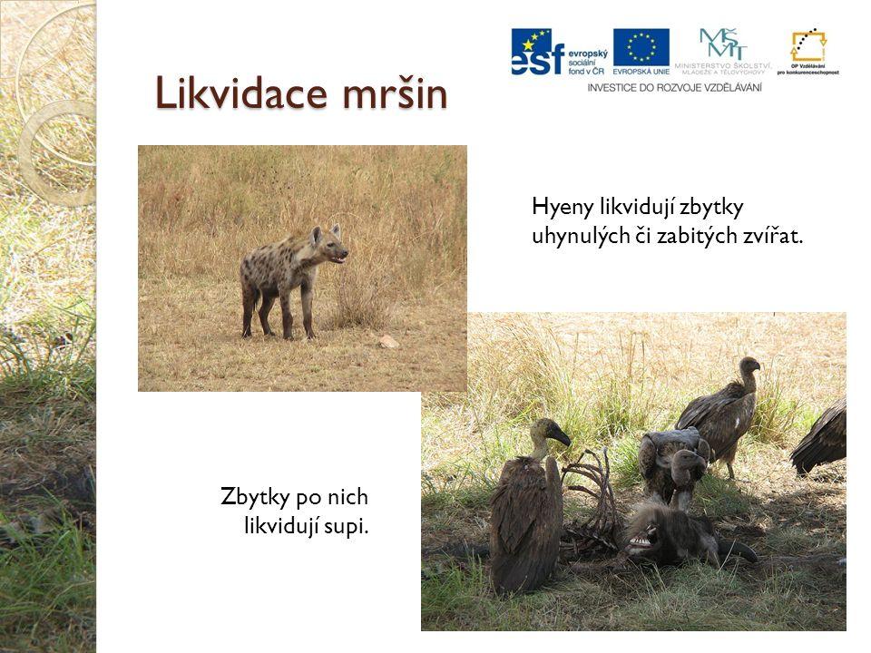 Likvidace mršin Hyeny likvidují zbytky uhynulých či zabitých zvířat. Zbytky po nich likvidují supi.