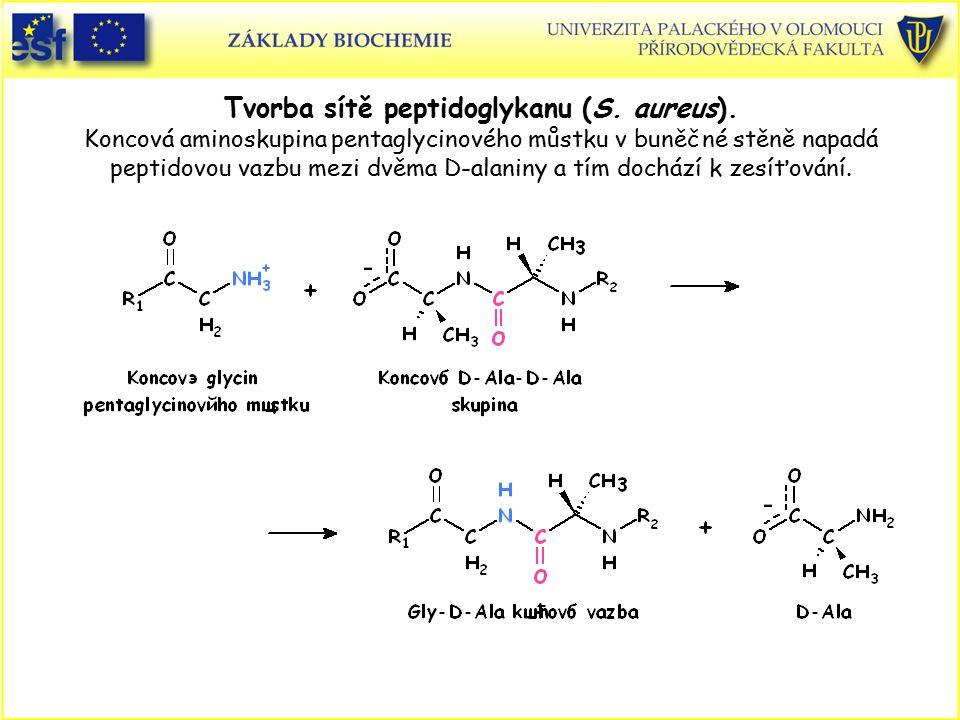Tvorba sítě peptidoglykanu (S. aureus). Koncová aminoskupina pentaglycinového můstku v buněčné stěně napadá peptidovou vazbu mezi dvěma D-alaniny a tí