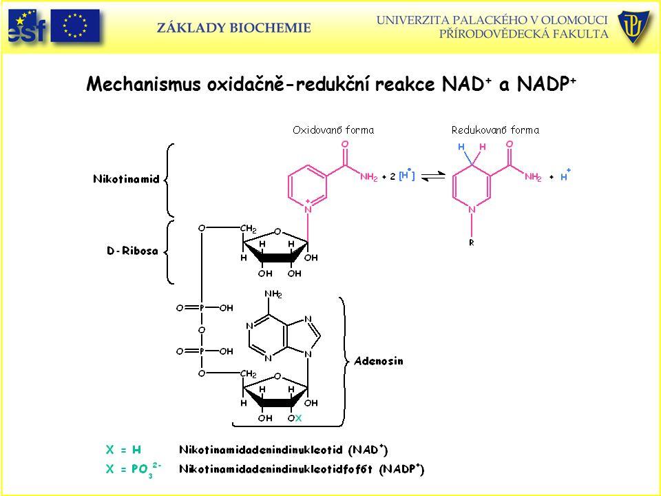 Mechanismus oxidačně-redukční reakce NAD + a NADP +