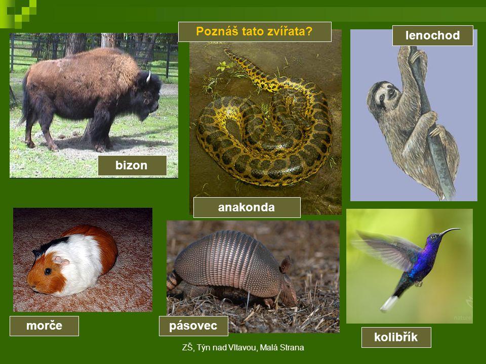 Poznáš tato zvířata? bizon anakonda lenochod morčepásovec kolibřík ZŠ, Týn nad Vltavou, Malá Strana