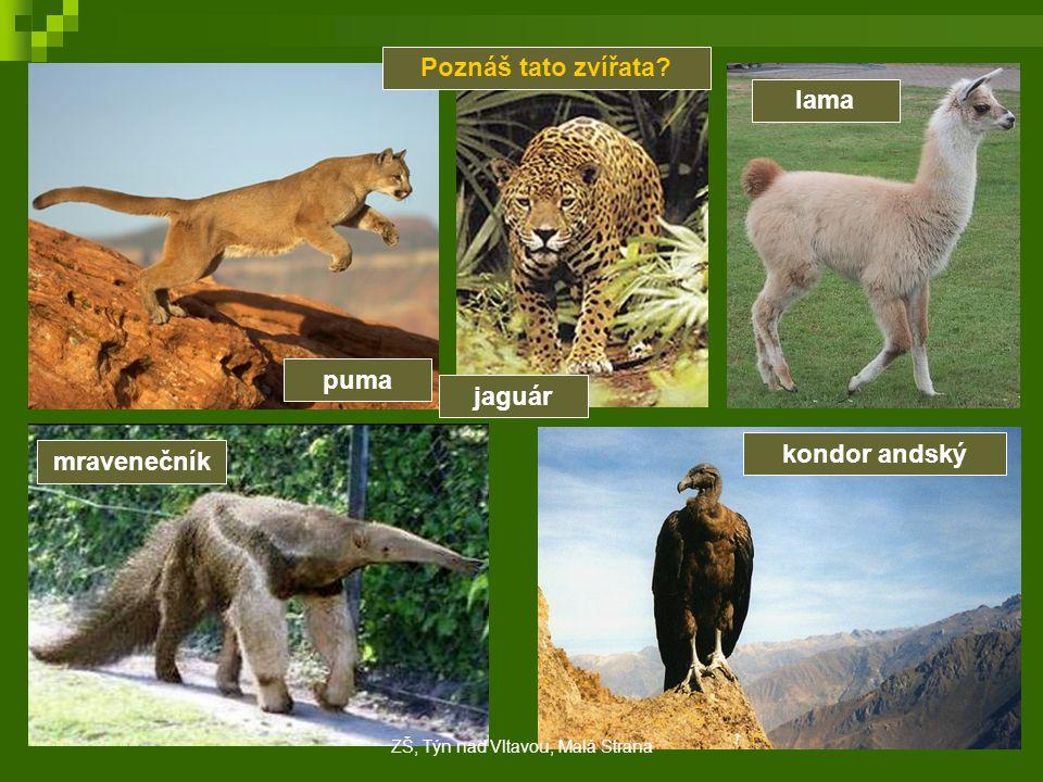 Poznáš tato zvířata? puma jaguár lama mravenečník kondor andský ZŠ, Týn nad Vltavou, Malá Strana