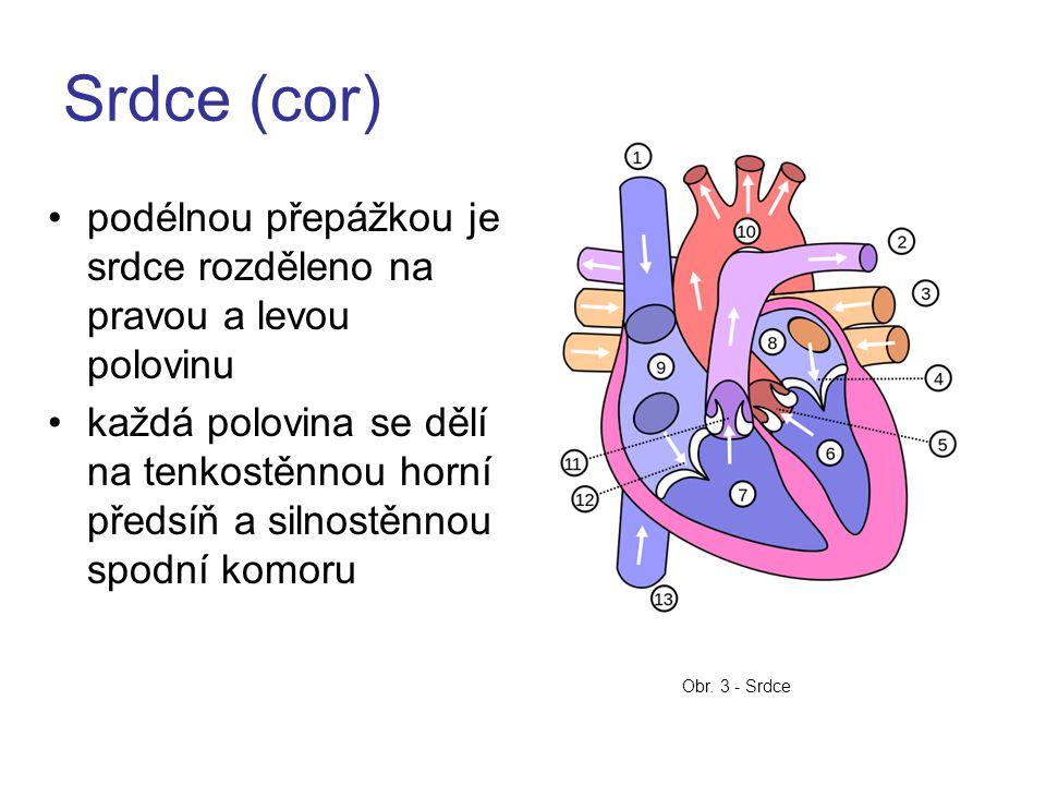 Srdce (cor) podélnou přepážkou je srdce rozděleno na pravou a levou polovinu každá polovina se dělí na tenkostěnnou horní předsíň a silnostěnnou spodní komoru Obr.
