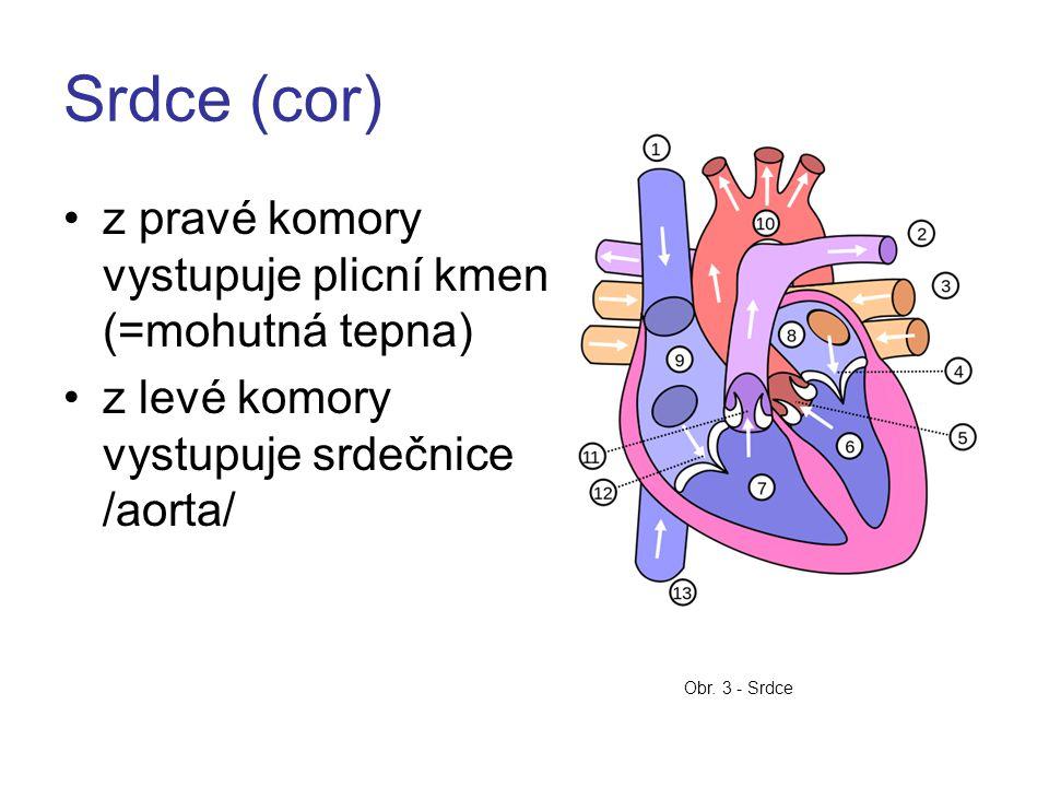 Srdce (cor) z pravé komory vystupuje plicní kmen (=mohutná tepna) z levé komory vystupuje srdečnice /aorta/ Obr.