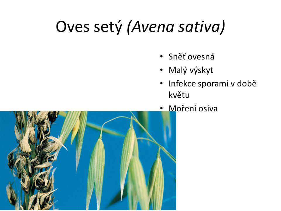 Oves setý (Avena sativa) Sněť ovesná Malý výskyt Infekce sporami v době květu Moření osiva