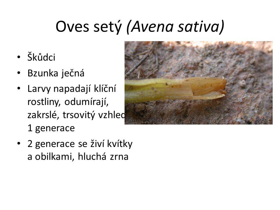Oves setý (Avena sativa) Škůdci Bzunka ječná Larvy napadají klíční rostliny, odumírají, zakrslé, trsovitý vzhled – 1 generace 2 generace se živí kvítk
