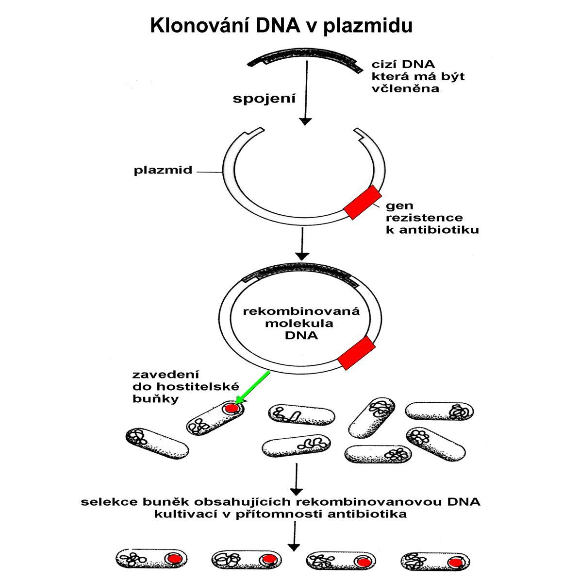 Klonování DNA v plazmidu