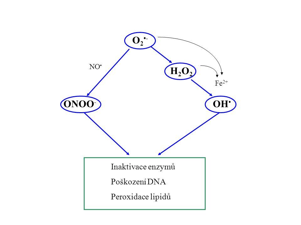 O2-O2- H2O2H2O2 OH Fe 2+ ONOO - Inaktivace enzymů Poškození DNA Peroxidace lipidů NO