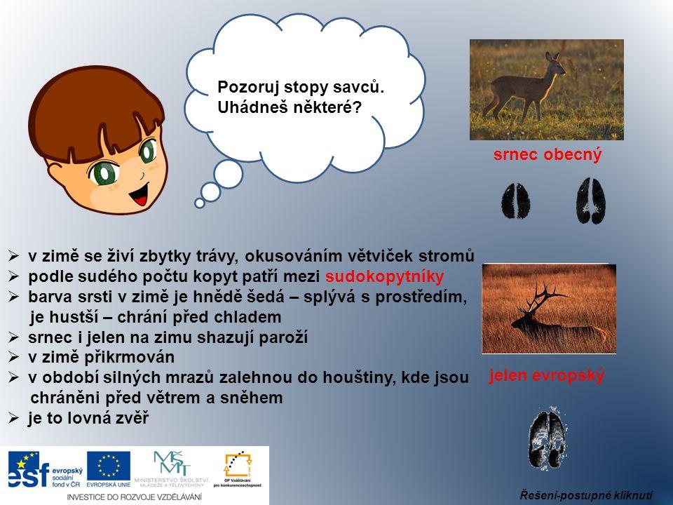 Ahoj, Pozoruj stopy savců. Uhádneš některé? srnec obecný jelen evropský  v zimě se živí zbytky trávy, okusováním větviček stromů  podle sudého počtu