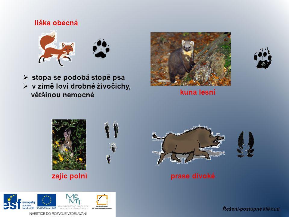 liška obecná  stopa se podobá stopě psa  v zimě loví drobné živočichy, většinou nemocné kuna lesní zajíc polní prase divoké Řešení-postupné kliknutí