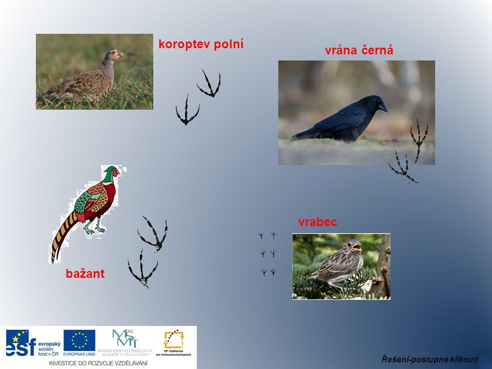bažant vrabec vrána černá koroptev polní Řešení-postupné kliknutí.