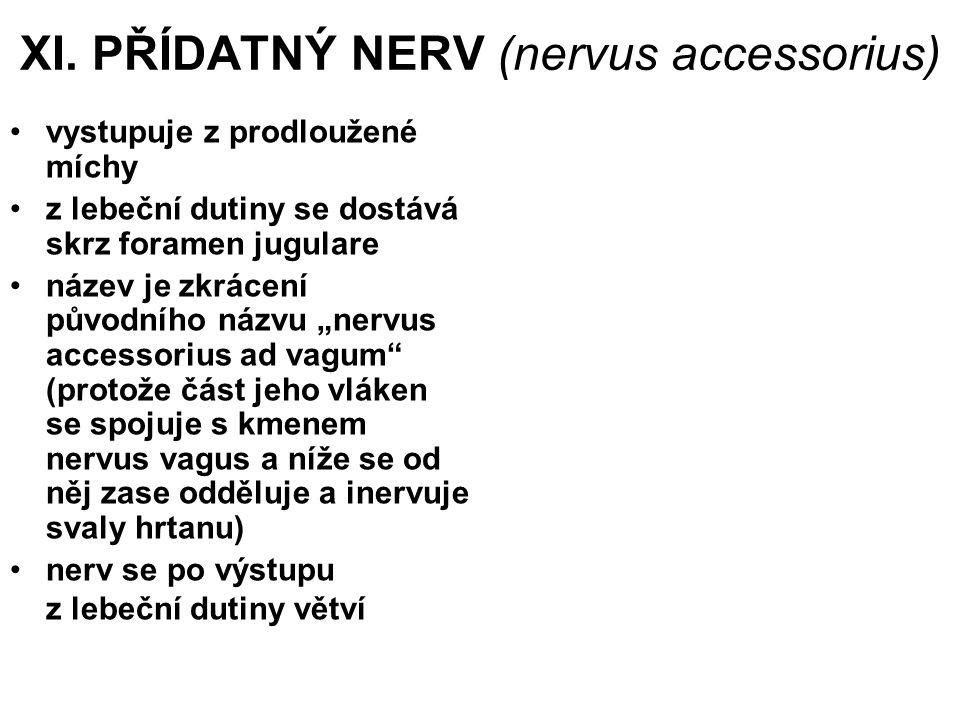 XI. PŘÍDATNÝ NERV (nervus accessorius) vystupuje z prodloužené míchy z lebeční dutiny se dostává skrz foramen jugulare název je zkrácení původního náz