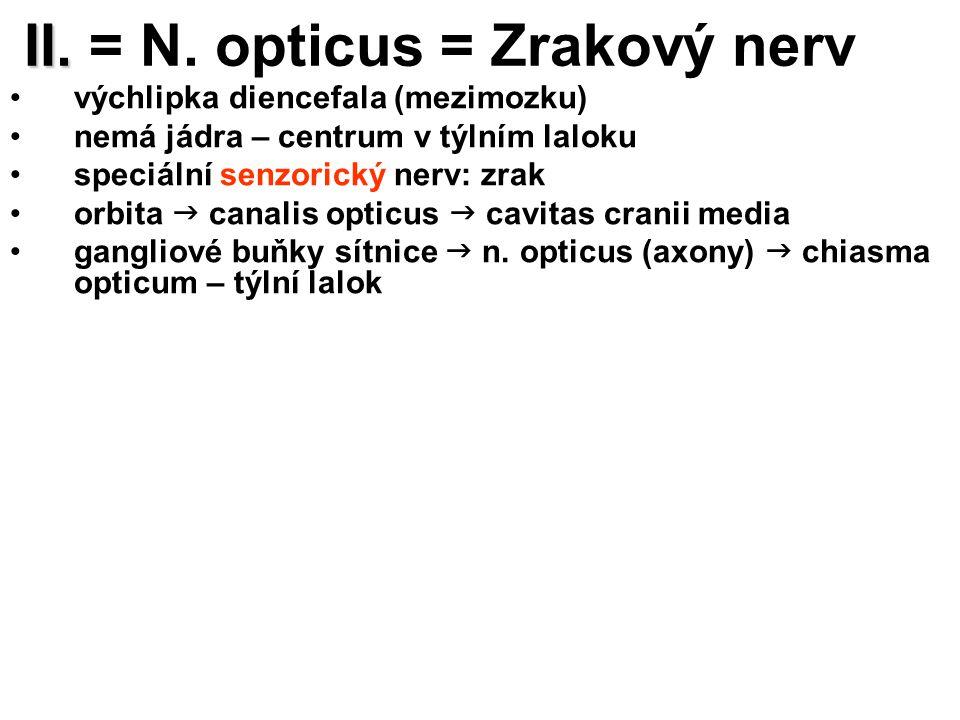 II. II. = N. opticus = Zrakový nerv výchlipka diencefala (mezimozku) nemá jádra – centrum v týlním laloku speciální senzorický nerv: zrak orbita  can