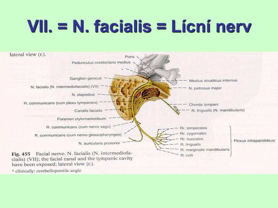 VIII.- Nervus vestibulocochlearis 6 jader v mostě (pod recessus lat.