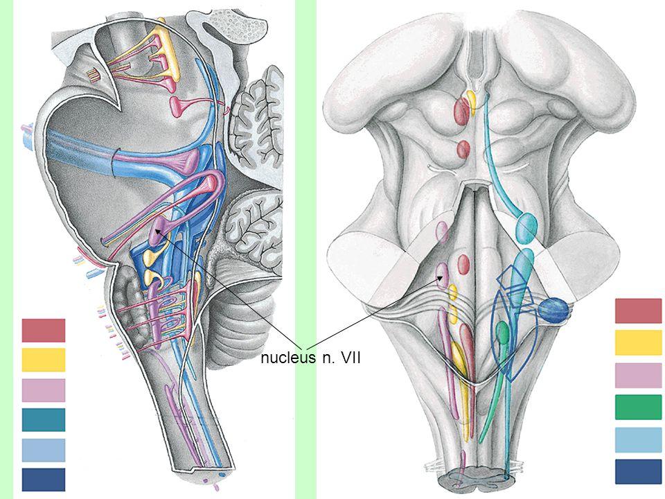 Vnitřní ucho Blanitý labyrint = Labyrinthus membranaceus Utriculus = Míšek – vodorovný pohyb Sacculus = Sáček – svislý pohyb Ductus semicircularis anteriror, lateralis, posterior (ampulla + crura) = Polokruhové chodbičky – úhlové zrychlení Cochlea = Hlemýžď - sluch smyslová místa macula utriculi / sacculi crista ampullaris organum spirale Corti