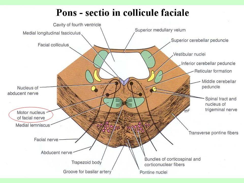 Motorická dráha tractus pyramidalis fibrae cortico- nucleares zkřížené