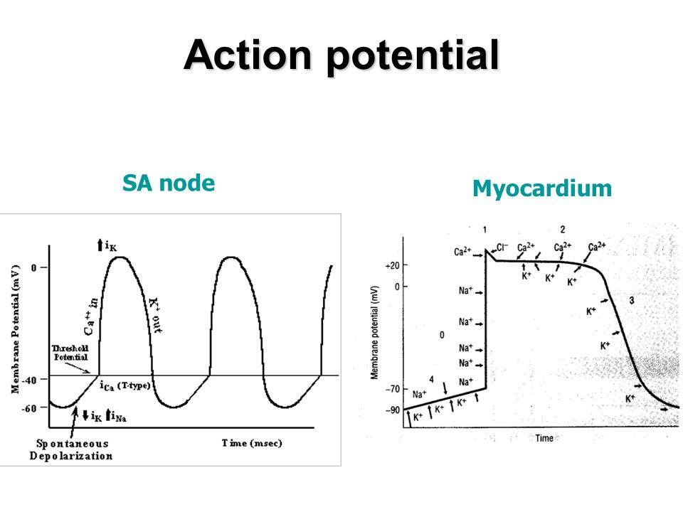 Action potential SA node Myocardium