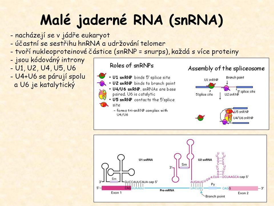 Malé jaderné RNA (snRNA) - nacházejí se v jádře eukaryot - účastní se sestřihu hnRNA a udržování telomer - tvoří nukleoproteinové částice (snRNP = snu