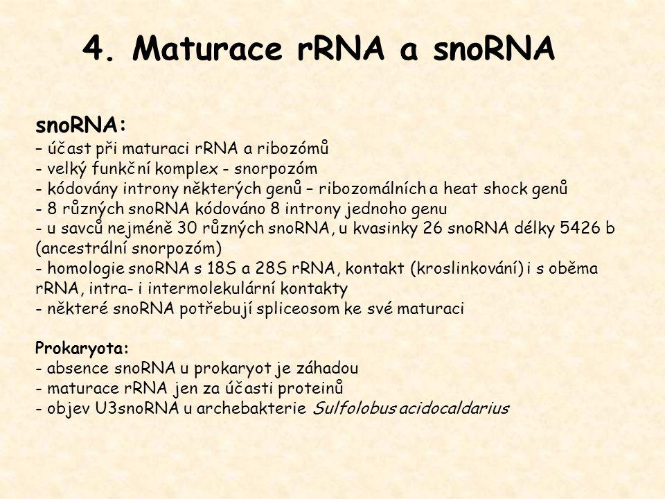 4. Maturace rRNA a snoRNA snoRNA: – účast při maturaci rRNA a ribozómů - velký funkční komplex - snorpozóm - kódovány introny některých genů – ribozom