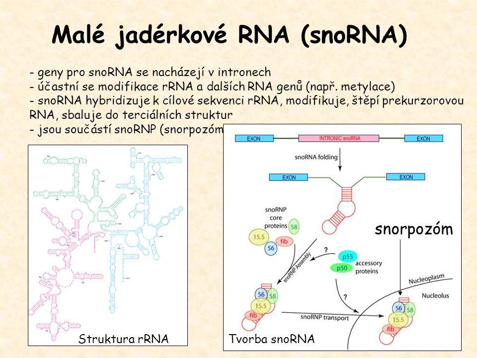 Malé jadérkové RNA (snoRNA) - geny pro snoRNA se nacházejí v intronech - účastní se modifikace rRNA a dalších RNA genů (např. metylace) - snoRNA hybri