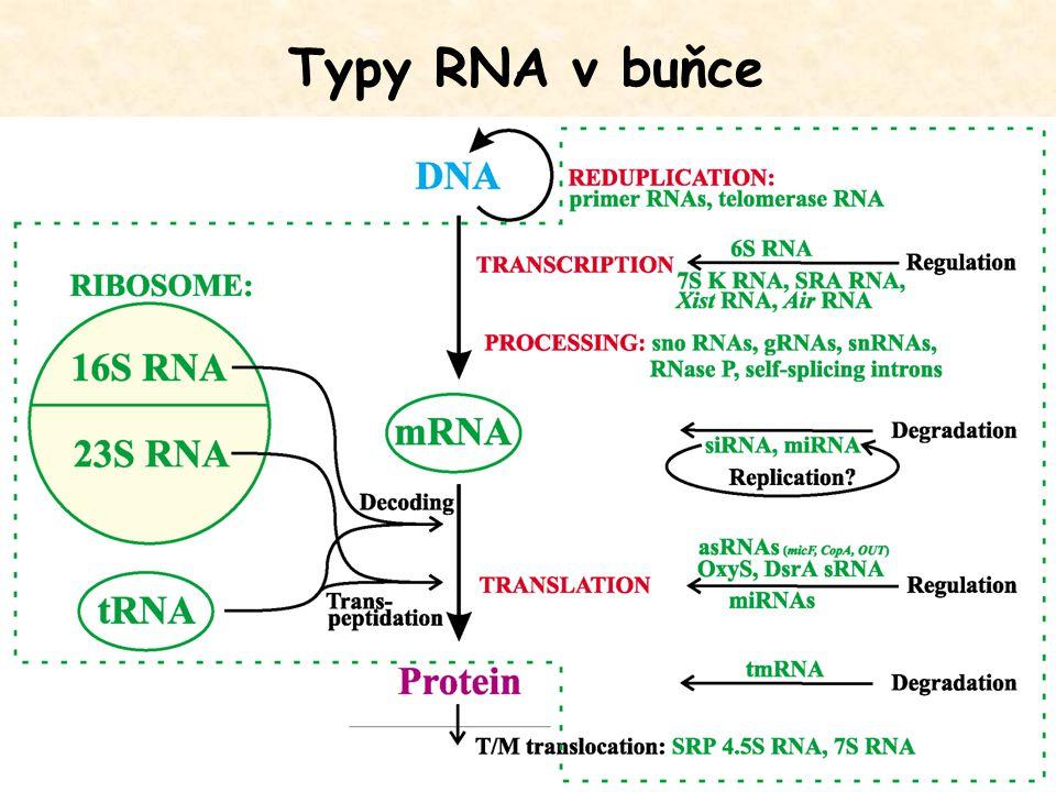 Chemická struktura RNA Rozdíly mezi RNA a DNA: Ribosa (2'-OH skupina) Uracil místo thyminu (absence methylu v poloze 5) Důsledky: - Většinou jednořetězcová šroubovice s kratšími dvouřetězcovými úseky - Variabilita prostorové organizace druhého a dalších řádů - Komplexní trojrozměrná struktura RNA může mít i strukturní a katalytickou funkci