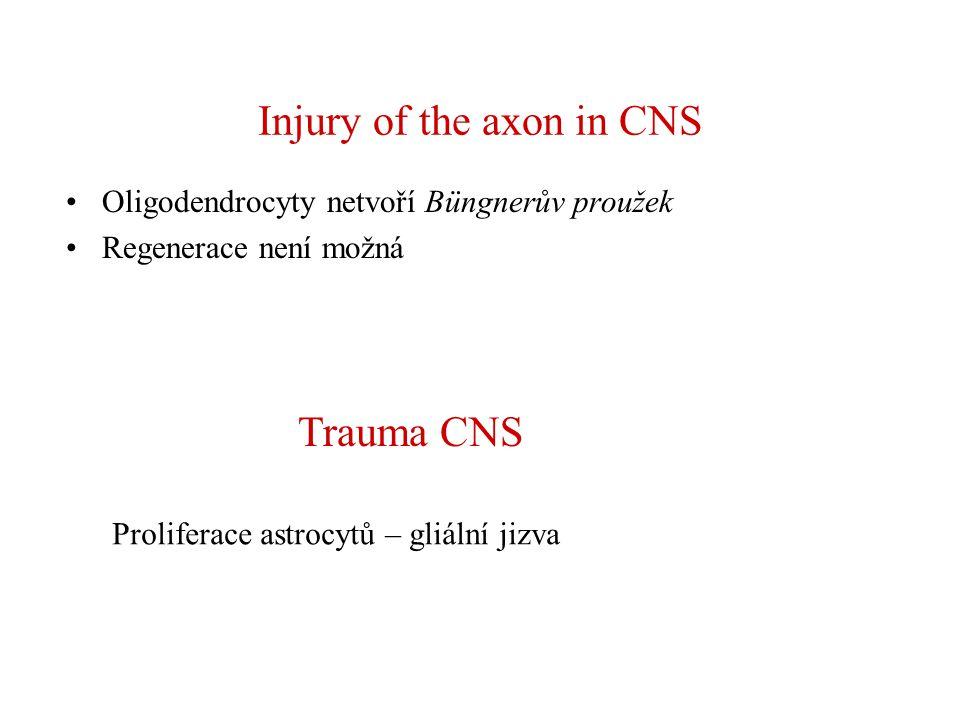 Injury of the axon in CNS Oligodendrocyty netvoří Büngnerův proužek Regenerace není možná Trauma CNS Proliferace astrocytů – gliální jizva