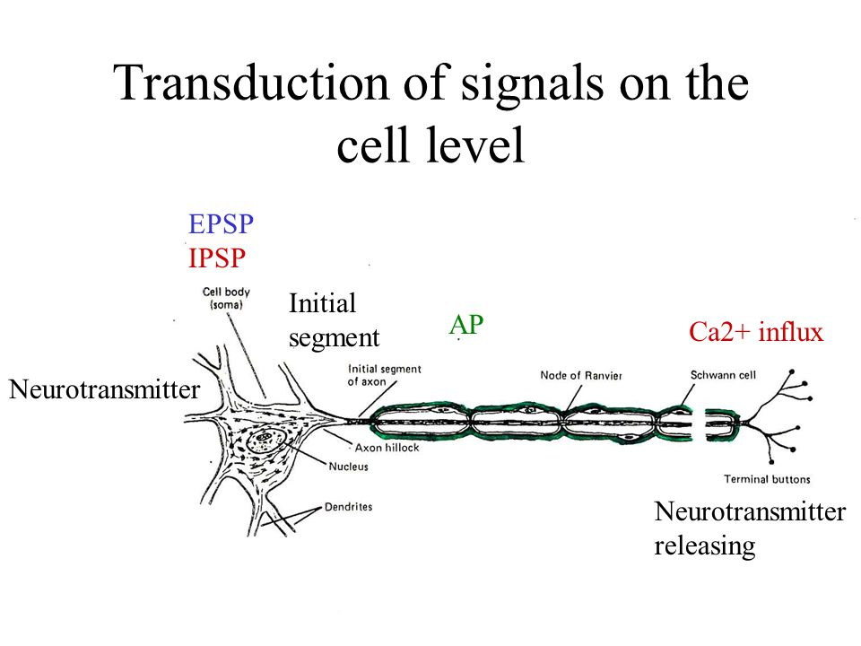 Transduction of signals on the cell level EPSP IPSP Initial segment AP Ca2+ influx Neurotransmitter Neurotransmitter releasing