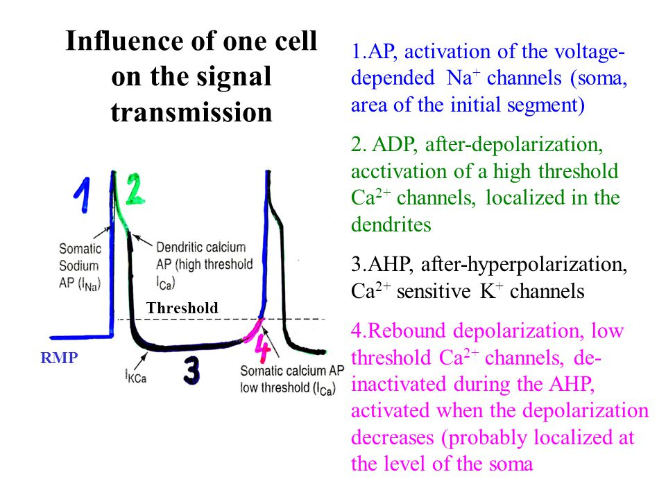 Influence of one cell on the signal transmission 1.AP, activation of the voltage- depended Na + channels (soma, area of the initial segment) 2. ADP, a