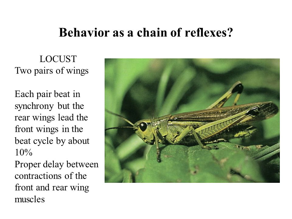 Behavior as a chain of reflexes? LOCUST Two pairs of wings Each pair beat in synchrony but the rear wings lead the front wings in the beat cycle by ab