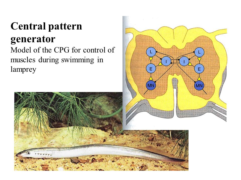 Central pattern generator Model of the CPG for control of muscles during swimming in lamprey