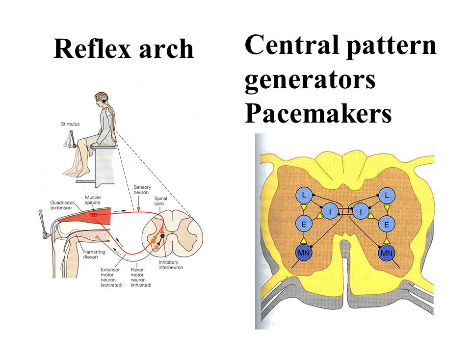 Reflex arch Central pattern generators Pacemakers