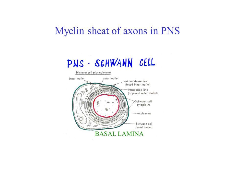 Axonal part of the neuron AP – Ca 2+ channels –neurotransmiter releasing