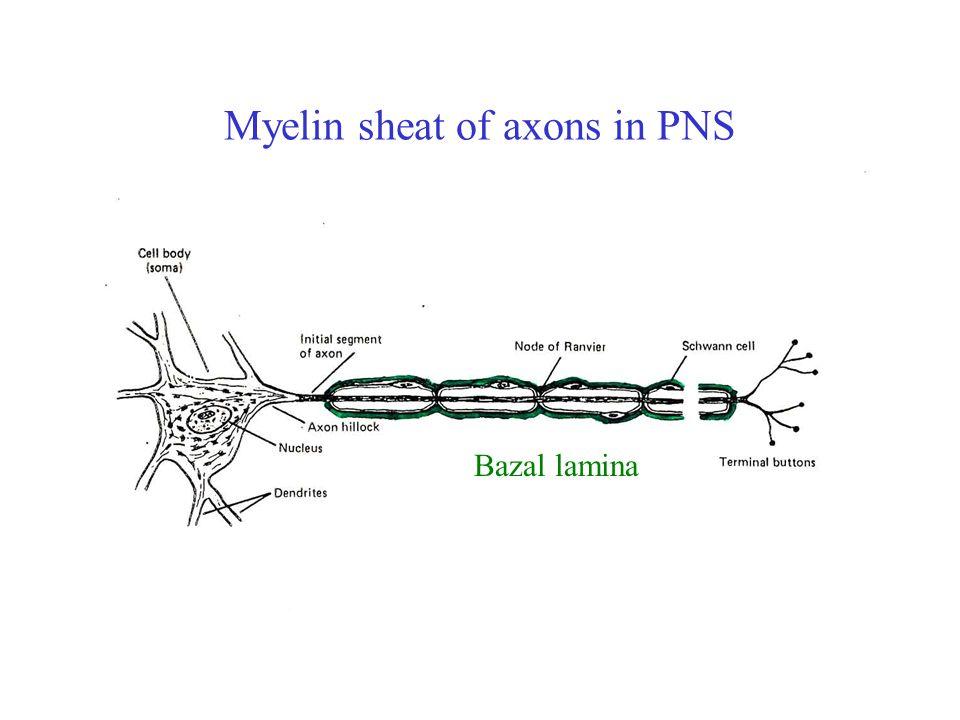 Somatodendritic part of neuron Receptors on the postsynaptic membrane Excitační – otevření kanálu pro Na +, Ca 2+ depolarizace membrány Inhibiční - otevření kanálu pro K +, Cl - hyperpolarizace membrány EPSP – excitační postsynaptický potenciál IPSP – inhibiční postsynaptický potenciál
