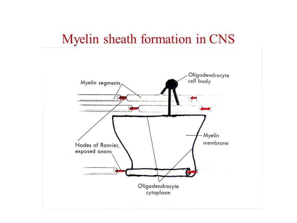 Injury of the axon in PNS Komprese, rozdrcení, přetětí – degenerace distální části (walleriánská degenerace, odstranění makrofágy) Zůstávají Schwannovy buňky a bazální lamina (Büngnerův proužek) Proximální pahýl dorůstá (axonal sprouting) Prognosis quo ad functionem Komprese, rozdrcení – dobrá, nalezení správného cíle na periferii Přetětí – horší, regenerace méně pravděpodobná