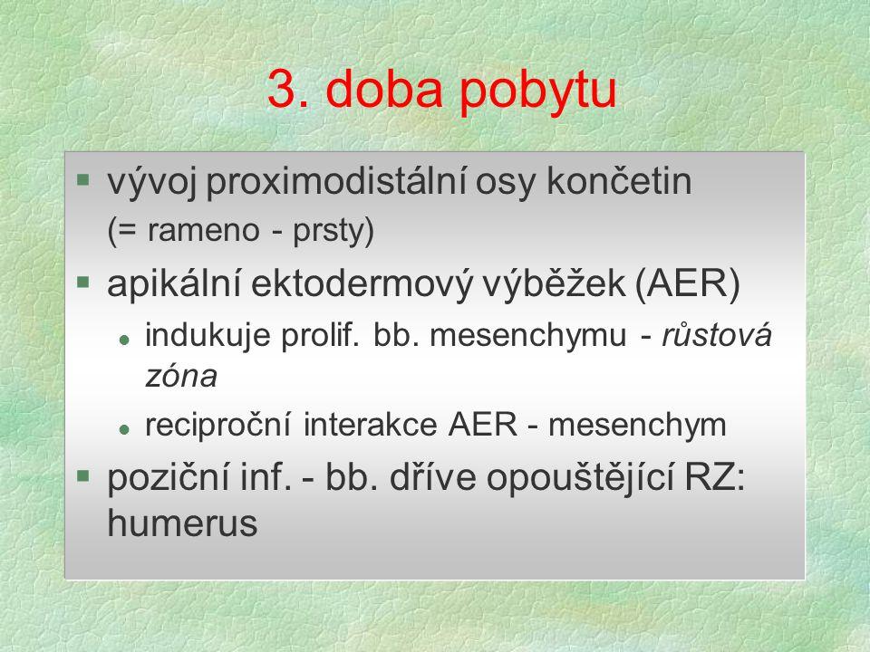 3. doba pobytu §vývoj proximodistální osy končetin (= rameno - prsty) §apikální ektodermový výběžek (AER) l indukuje prolif. bb. mesenchymu - růstová