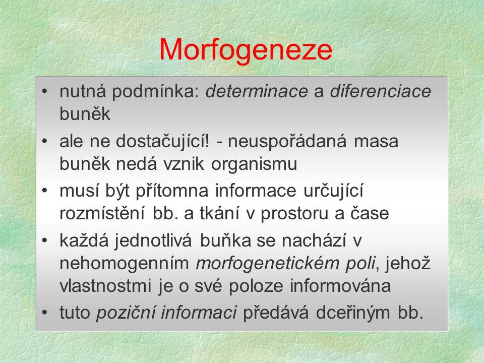 V průběhu embryonálního vývoje vzniká hierarchie morfogenetických gradientů: determinace základního tělního plánů a mezodermu diferenciace orgánů indukcí z mezodermu další generace morfogenů se uplatní na základech orgánů - př.