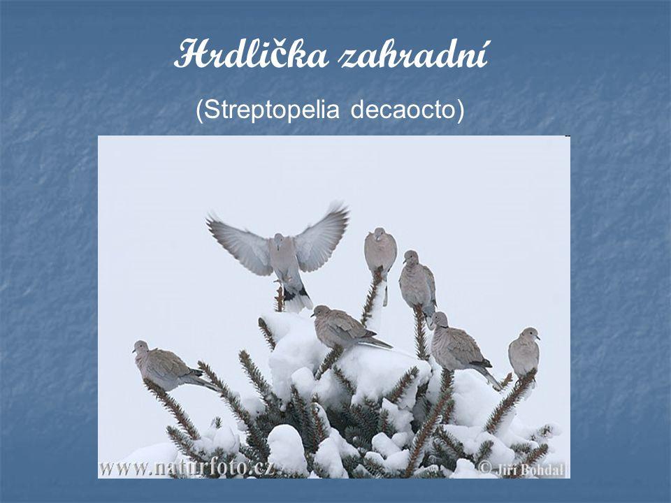 Hrdli č ka zahradní (Streptopelia decaocto)