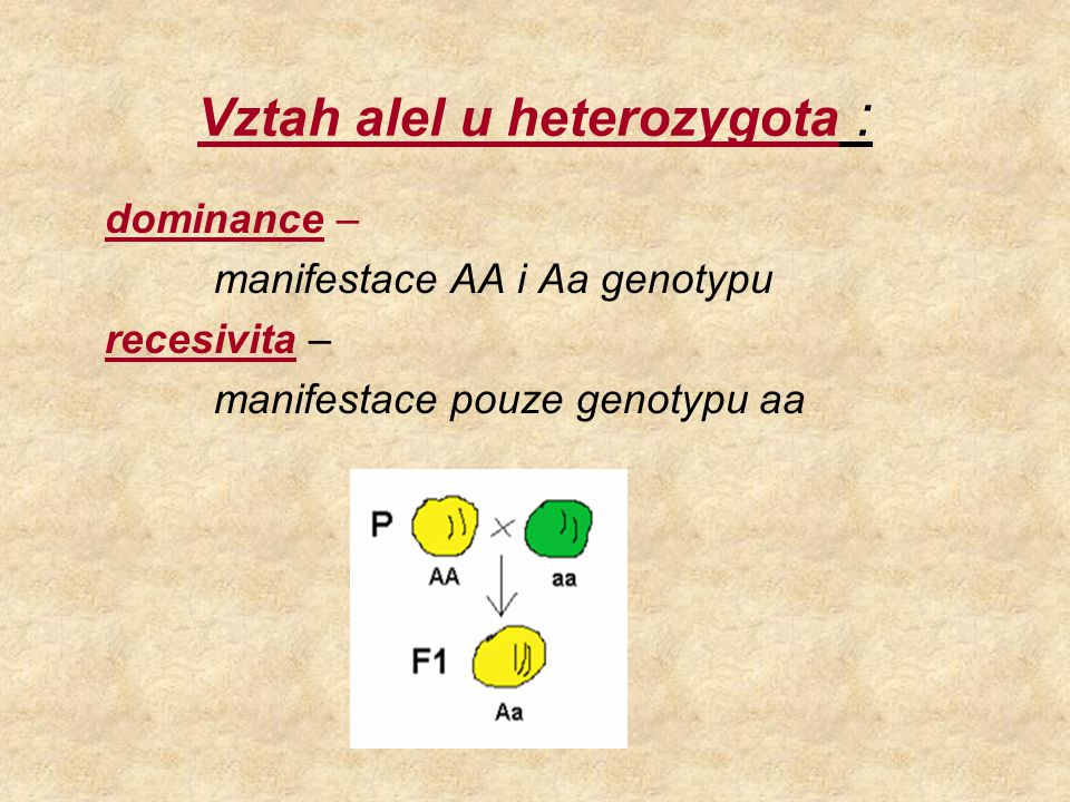 Vztah alel u heterozygota : dominance – manifestace AA i Aa genotypu recesivita – manifestace pouze genotypu aa