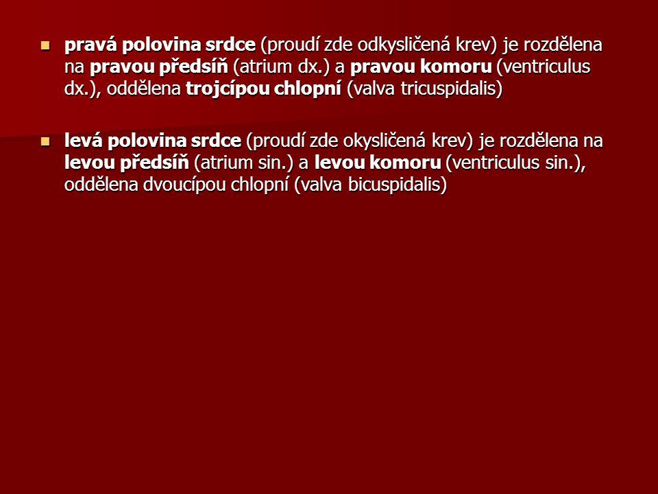 Dolní končetina Dolní končetina - společná kyčelní žíla (v.