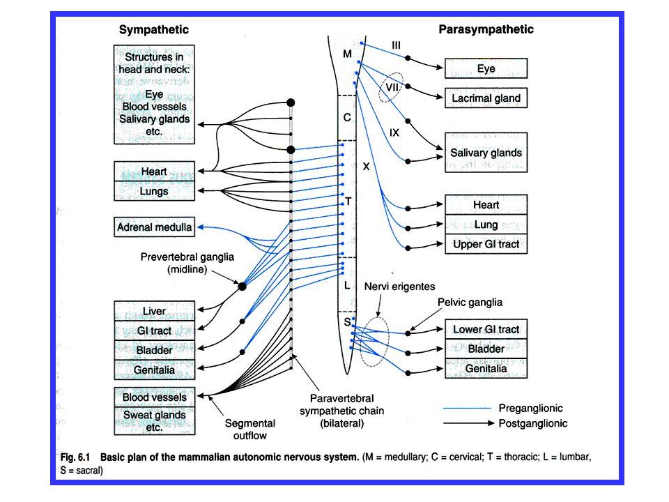 Parasympatikus Stimulace muskarinového receptoru (M) OrgánČást orgánuÚčinek OkoM.