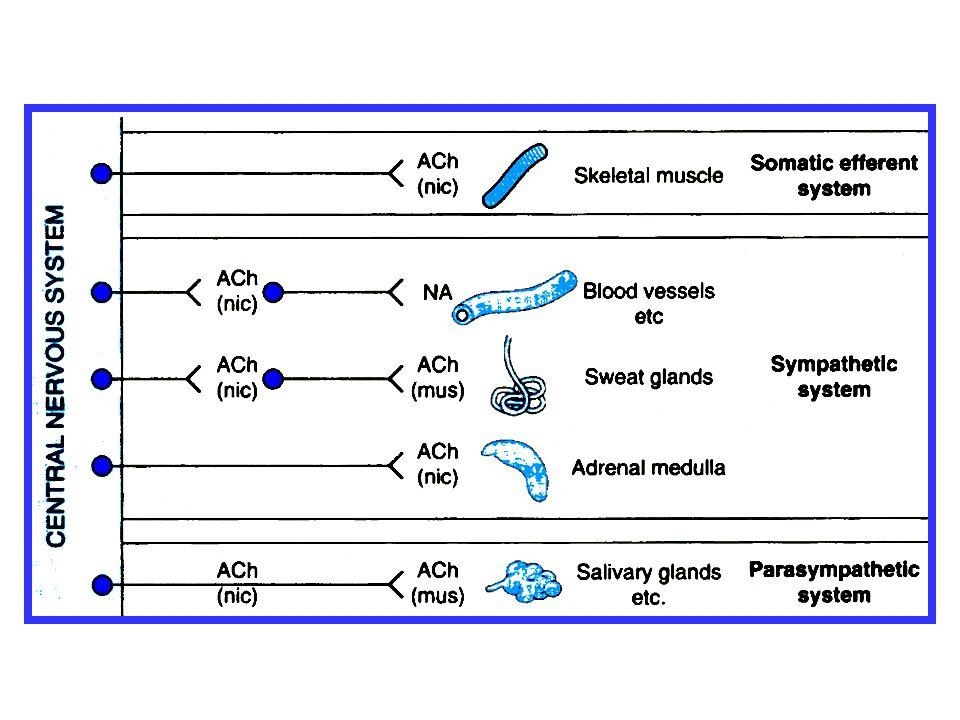 závisí na převládající inervaci daného orgánu Cévy (arterioly) jsou inervovány zejména sympatikem, proto stimulace N receptorů v gangliích má za následek zvýšení přenosu vzruchu postgangliovým neuronem sympatiku a následnou aktivaci sympatických receptorů (α 1 ) na příslušné efektorové buňce - zvýšení krevního tlaku Srdce (síně) a GIT - převládá tonus parasympatiku, proto dráždění N-receptorů ganglií na za následek zvýšení přenosu vzruchu postgangliovým neuronem parasympatiku a aktivaci M-receptorů - zvýšená motilita GIT Stimulace nadledvin - uvolnění adrenalinu a noradrenalinu - záškuby až spazmus příčně pruhovaného svalu Parasympatikus Stimulace nikotinového receptoru (N)