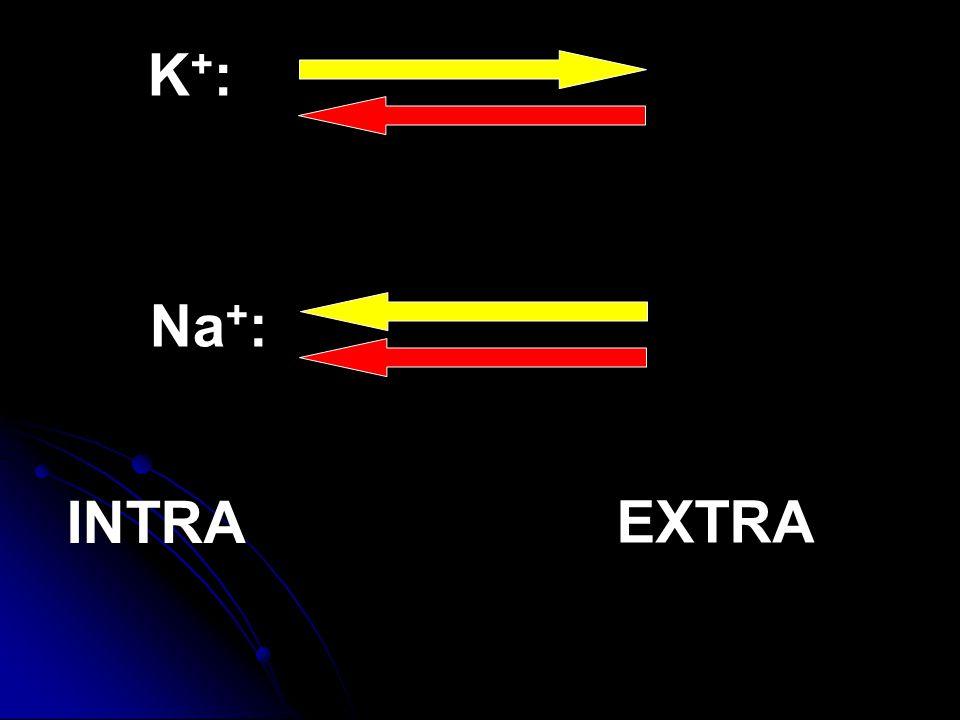 K+:K+: Na + : INTRA EXTRA