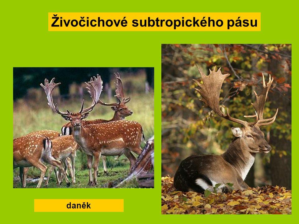 Živočichové subtropického pásu daněk
