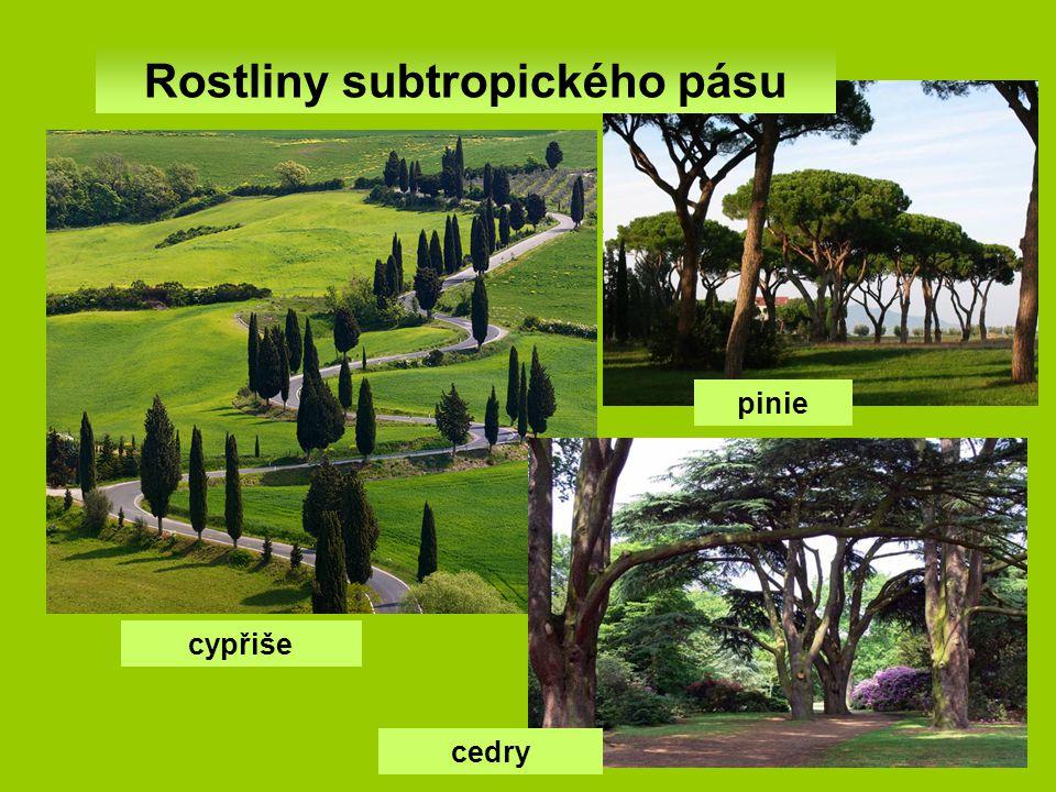 Rostliny subtropického pásu cypřiše cedry pinie