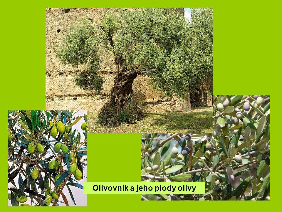 Olivovník a jeho plody olivy