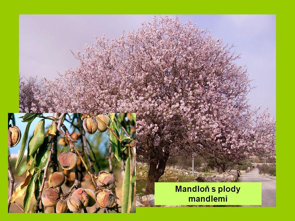 Mandloň s plody mandlemi
