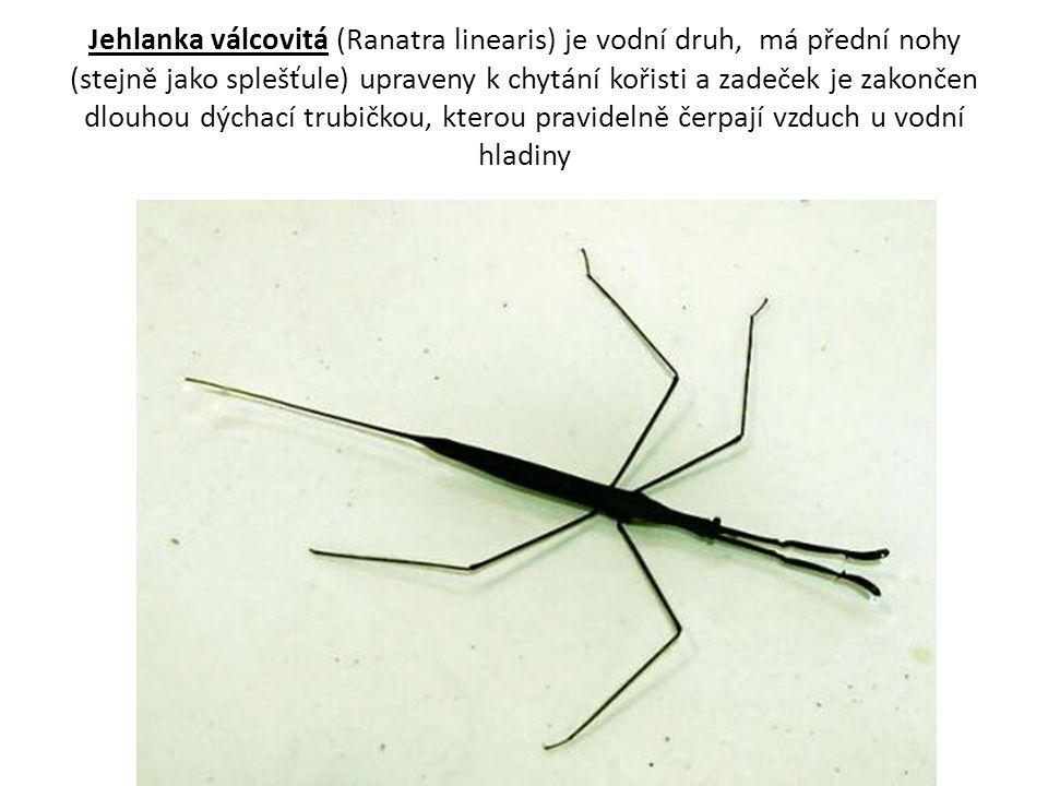 Jehlanka válcovitá (Ranatra linearis) je vodní druh, má přední nohy (stejně jako splešťule) upraveny k chytání kořisti a zadeček je zakončen dlouhou d