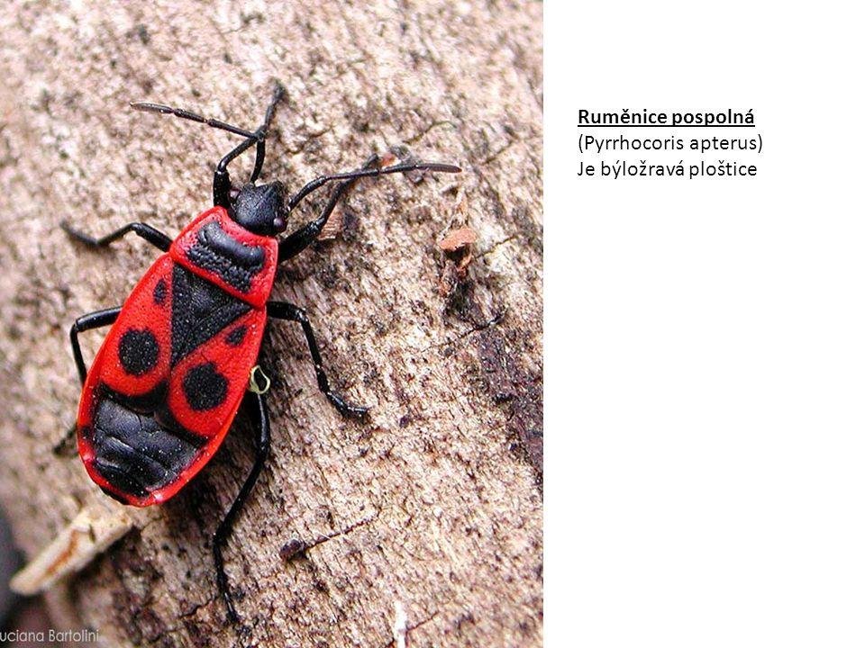 Ruměnice pospolná (Pyrrhocoris apterus) Je býložravá ploštice