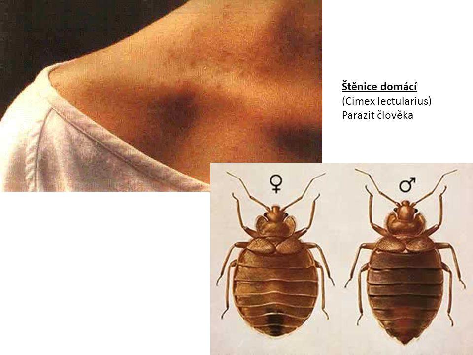 Štěnice domácí (Cimex lectularius) Parazit člověka