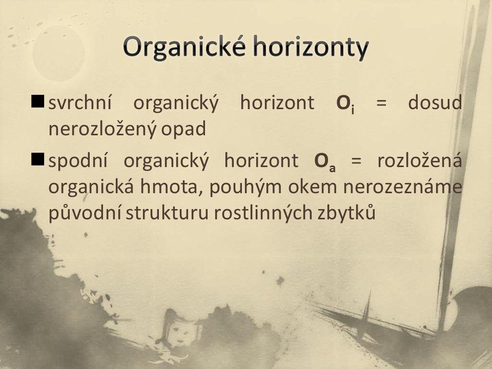 svrchní organický horizont O i = dosud nerozložený opad spodní organický horizont O a = rozložená organická hmota, pouhým okem nerozeznáme původní strukturu rostlinných zbytků