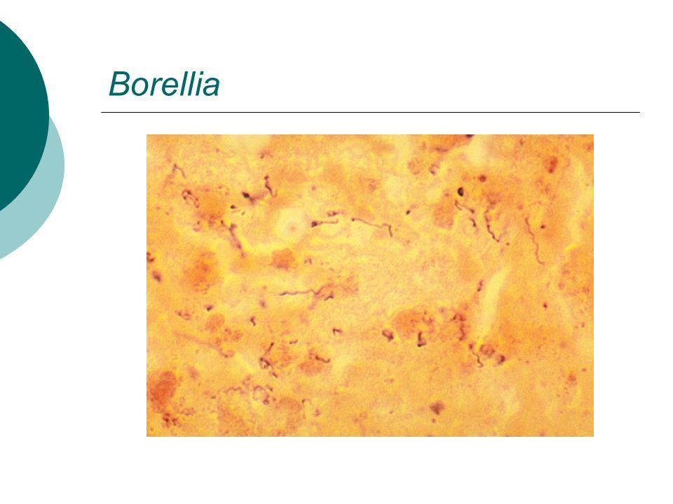 Borellia